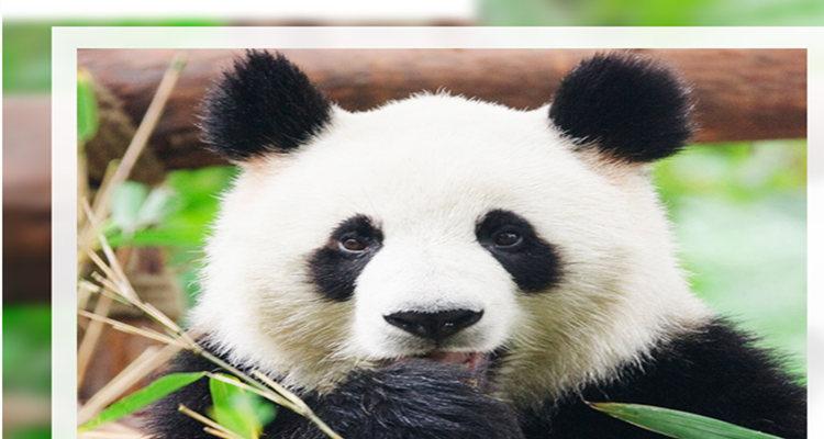 熊貓基地-黃龍溪一日游.此行程為精品定制半自由行程,游覽時間相對較為輕松,適合多種人群前來觀光、游覽
